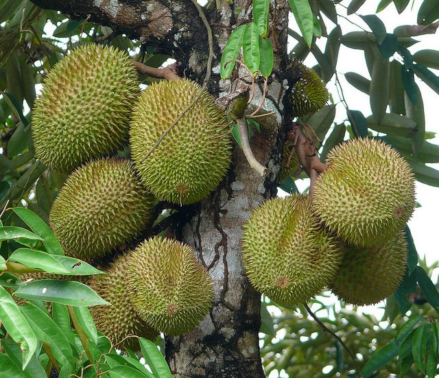 Durian. The odor has led to the fruit's banishment from certain hotels and public transportation in southeast Asia.