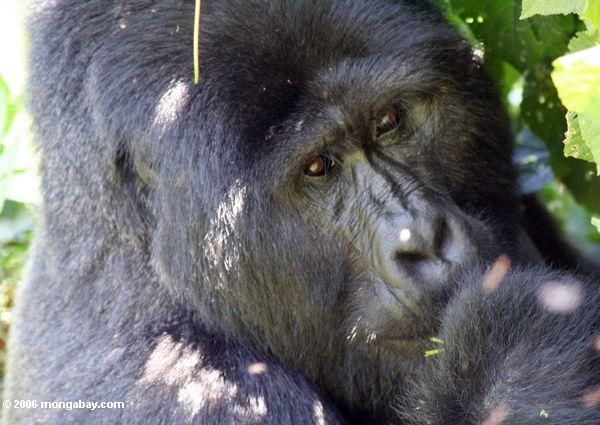 A look at the gorilla and the various conservation efforts to save them