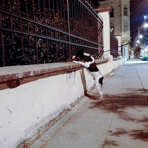 3.9.2016 - day 100 - night watch ... OK we have 1 hundred of photos :-)   Blackberry Passport  www.pavelvrzala.com  #SmoothFoxTerrier #puppy #little #dog #street #night #watch #fence #Blackberry #Passport