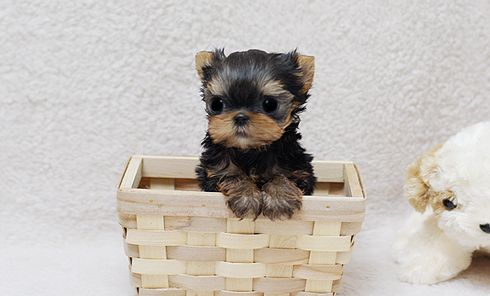 15 Must-see Yorkshire Puppies Pins | Yorkie, Yorkie ...
