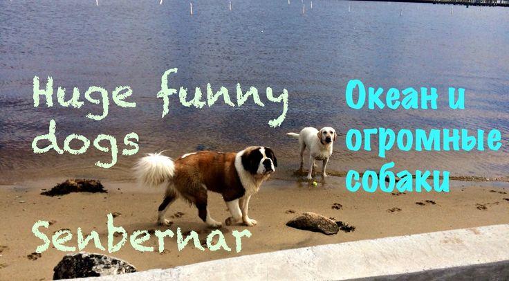 Океан и огромные собаки Сенбернар. Martasvineyard
