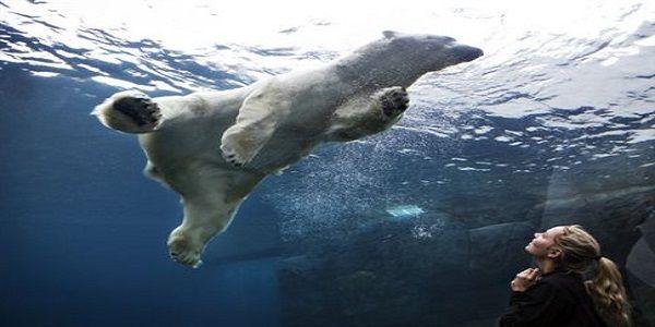 Ο πάγος λιώνει οι πολικές αρκούδες ξεθεώνονται στο κολύμπι