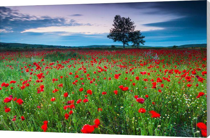 Poppies at Twilight.