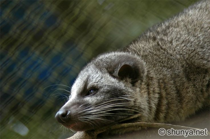 asian palm civet baby - Google Search