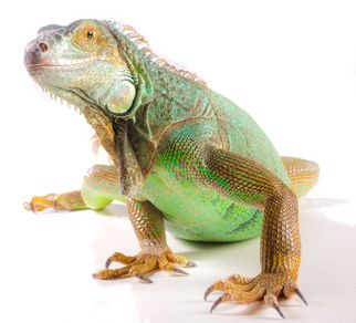 Pet Green Iguana Care Sheet & Supplies