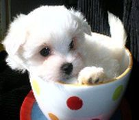 Maltese dogs for sale. We are a family oriented Maltese breeder located near Raleigh, North Carolina. If you have been looking for a Maltese or Maltipoo breeder