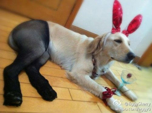 dog in pantyhose and rabbit ears