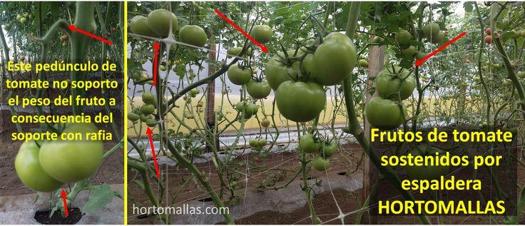 El estrangulamento del pedunculo le pasa al racimo de tomate cuando se usa el tutoreo de rafia por falta de apoyo