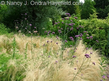 Mexican feather grass stipa tenuissima with brazilian for Planting schemes with grasses