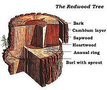 COAST REDWOOD  --{ The average diameter of the largest living coast redwood is more than 20 feet. }-- http://www.savetheredwoods.org/league/pdf/coast_redwood_facts.pdf