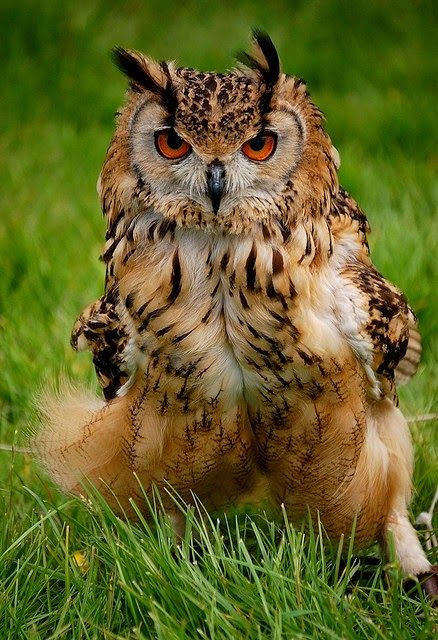 Eurasian Eagle Owl (Bubo-bubo).