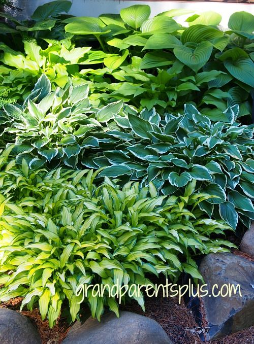 Colorful Hosta Garden With Over 60 Varieties