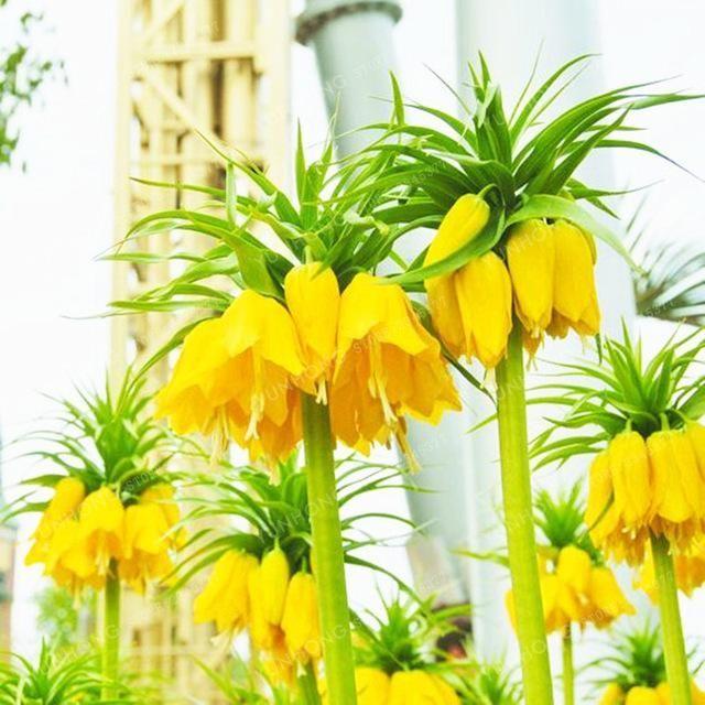 Krone Kaiser Saatgut Wang Fritillaria Saatgut Einfach Zu Wachsen Haus Garten Grund Abdeckung Pflanze Siehe Rare Garten Garden Types Bodendecker