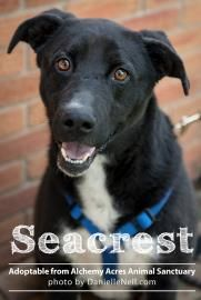 Seacrest lab / border collie  Seacrest was found shot in the leg. After surgery and therapy he is 100% ready to go to his new home. He is excellent with children and other dogs. He LOVES to romp and play and would make a great addition to any family. The adoption fee for Seacrest is $210.00.