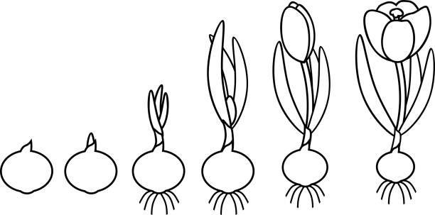 Royalty Free Saffron Crocus Clip Art Vector Images