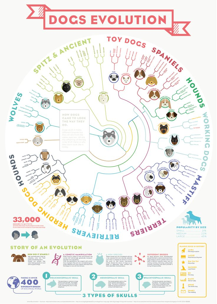 This infographic poster explains how dogs made their evolution to become the different types of breeds that we know today.