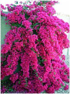 Bougainvillea 'Barbara Karst' so pretty and it comes in many colors