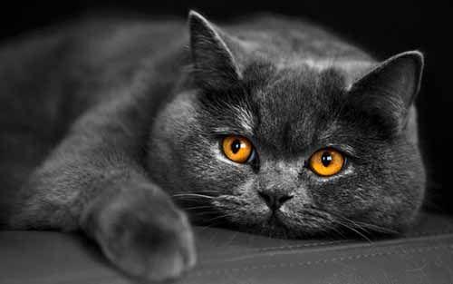 """Плюшевая внешность, огромные оранжевые глаза и """"улыбка"""" Чеширского кота — по этим признакам любой определит, что перед ним Британская короткошёрстная кошка."""