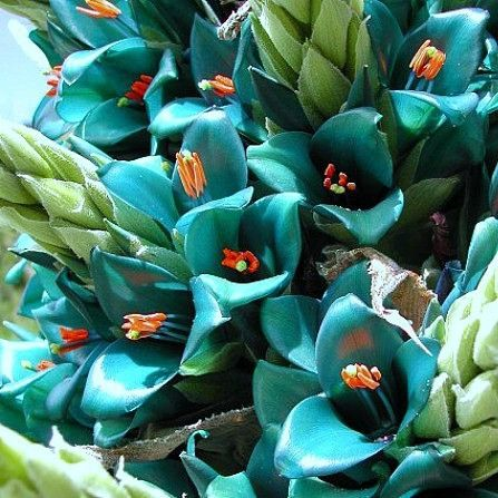 The 5' blooming stalk of this Bromeliad is absolutely amazing. Its intense blue color is difficult to believe much less describe. Luminous, metallic turquoise, a color you might paint a race car. Plus