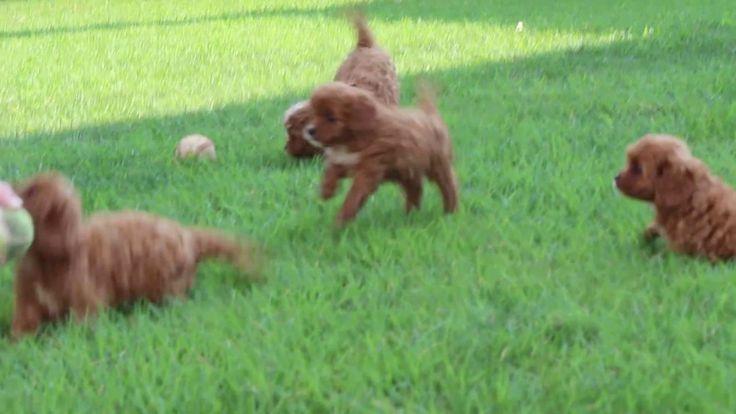 Cavapoo Puppies For Sale