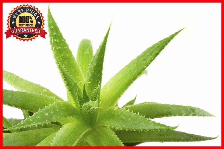 200 ALOE VERA Seeds - Medicinal Aloe Vera - Grow Your Own Succulent Plant