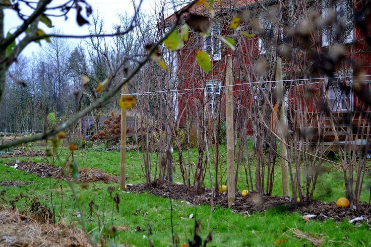 Buskarna spred sig ohejdat från den tidigare platsen och invaderade min grönsaksodling. Nu har de fått en ny växtplats där jag hoppas de ska skärpa till sig lite.