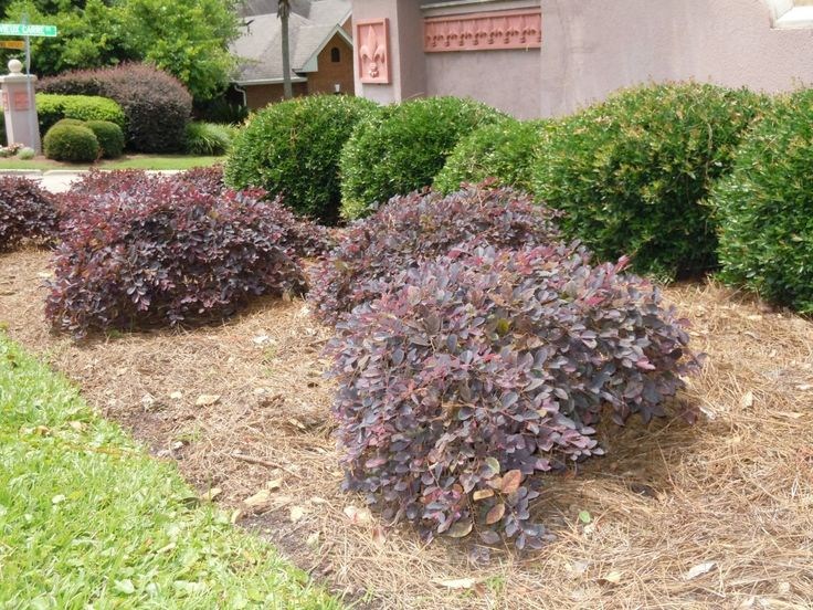 271 best images about shrubs on pinterest hedges pink for Low growing flowering shrubs