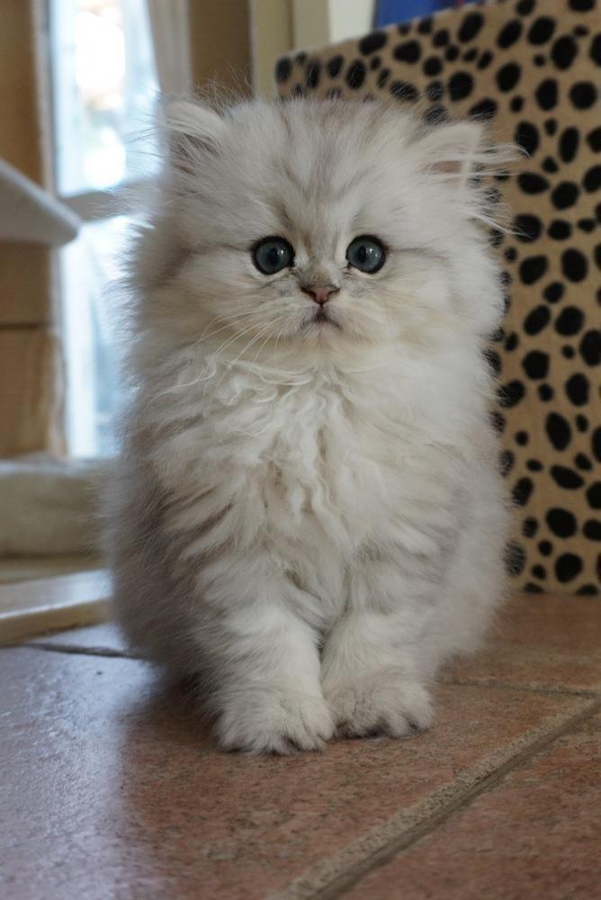 Persian Kitten Cattery Van Ijdoorn The Netherlands Persiancat