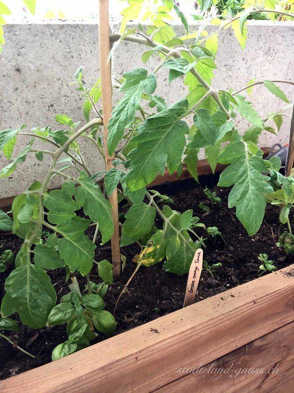 Tomaten und Basilikum sind gute Nachbarn und sollten gemeinsam anbapflanz werden. Mehr Tipps für Mischkulturen auf dem Blog.