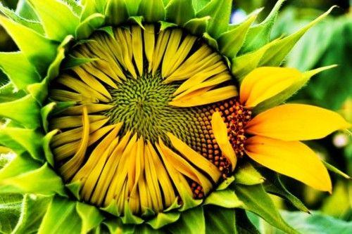 sunflower love: Bureau Photos, Farms Bureau, Contest Winner, 2011 Tenness, 2011 Photos, Tenness Farms, Ten Farms, Photos Contest, Showca Natural