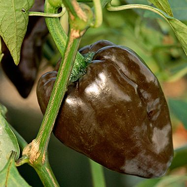 Seed Saving  Beginner  39 s Guide to Seed Saving     Seed saving is an easy. 1000  ideas about Eggplant Varieties on Pinterest   Growing