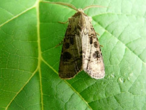 Agrotis clavis: the heart and club moth | The Nature of Dorset