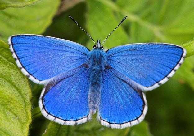 A male Polyommatus bellargus(Adonis Blue)