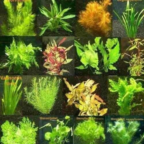 Aquarium Carpet Plants India - Carpet Vidalondon