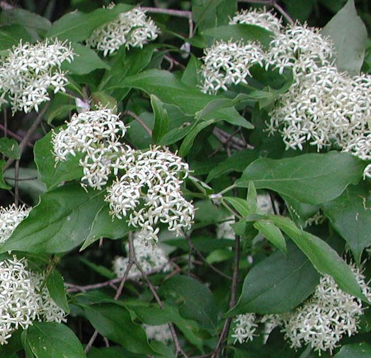 similar to what I saw, not the same...Gray Dogwood (Cornus racemosa Lam.)