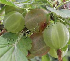 Варенье из крыжовника и апельсинов без варки  Источник: http://www.kuroed.com/recipe/71560/