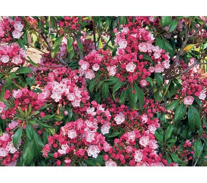 Kalmia latifolia (Mountain Laurel) 'Olympic Fire'
