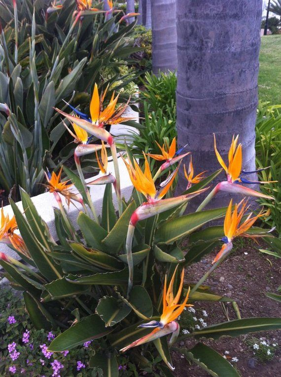 Dwarf Bird Of Paradise Flower Strelitzia Reginae Dwarf Form 3 Fresh High Quality Seeds For Sowin Tropical Garden Design Plants Birds Of Paradise Plant