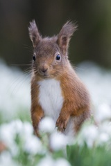 Red Squirrel with a very gorgeously fluffy white belly