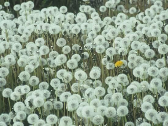 Dandelion Seed Heads and One Remaining Flower, Taraxacum Officinale, North America Photographic Print by Ernest Manewal at Art.com