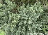 "Thymus serpyllum Mosquito repelling ""Creeping Thyme"" plant. It has citronella oil that makes it smell lemony.FOR FRONT PORCH!"