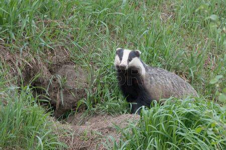 badger: Badger near of the hole. European badger Meles meles Stock Photo