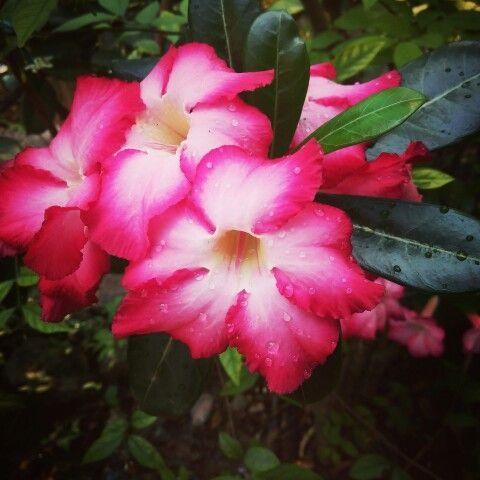 ดอกชวนชม : Thailand
