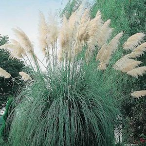 WHITE FEATHER PAMPAS GRASS  Seeds  Cortaderia selloana  An incredibly fast growing showyornamental grass that can grow to 12 feet or more tall. By its third year it produces an amazing amount of 2-3 foot white plumes that are excellent for cutting for fresh or dried arrangements. Very easy to grow. Winter hardy to zone 7.