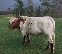 Pineywoods cow