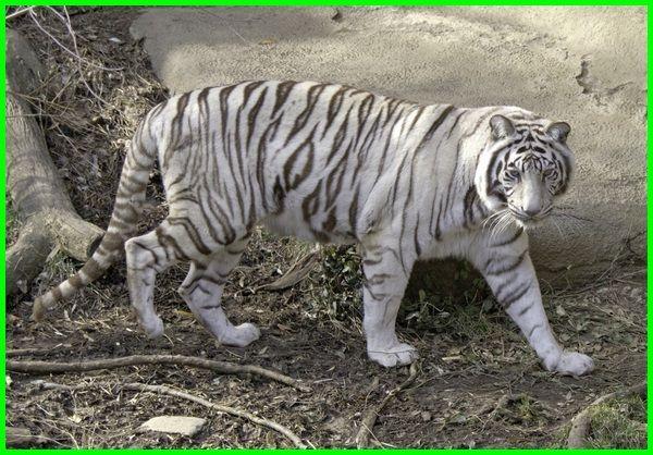 Harimau Putih Spesies Langka Yang Tidak Terduga Dunia Fauna Hewan Binatang Tumbuhan Di 2020 Harimau Putih Binatang Hewan