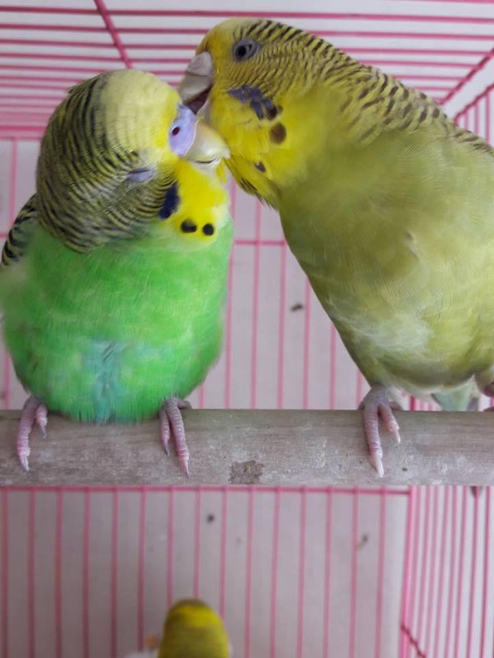 #relationshipgoals  Thanks, Vinay!  #parakeet #parakeets #parakeetlover #parakeetlovers #parakeetlove #budgie #budgies #budgielover #budgielovers #budgielove  #petstagram #instabird #wellensittich #muhabbetkusu