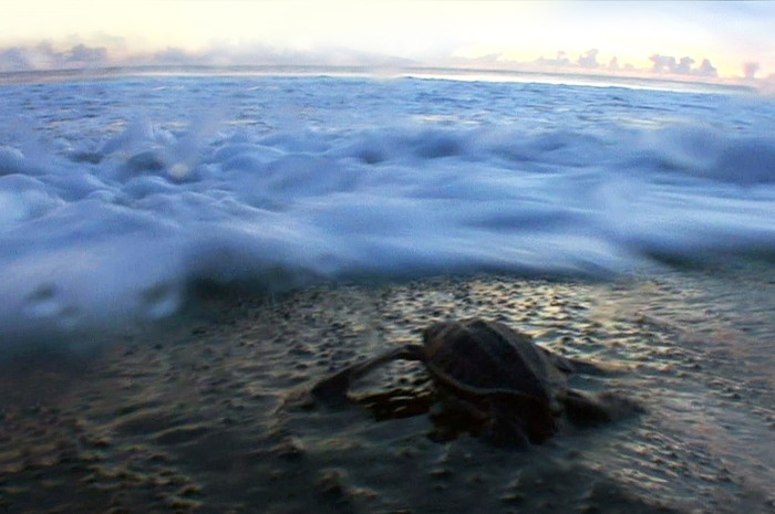 Dawn on Jamursba Medi Beach sees a unique transition: hatchlings may spend seven days hatching, digging their way out of...