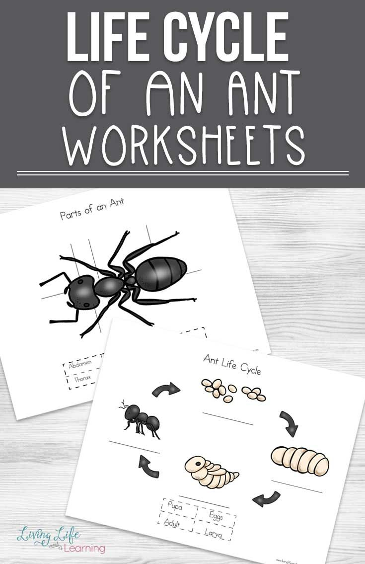 Ant Life Cycle Worksheets Ant Life Cycle Life Cycles Ants [ 1135 x 735 Pixel ]
