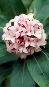 Daphne Odora pink winter flowering Daphne Plants for sale Online UK & IRL